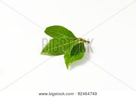 twig of fresh bay leaves on white background