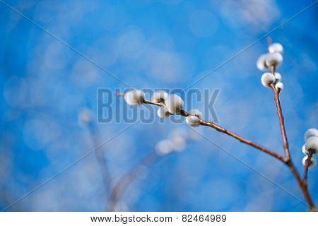pussy willow branches with blue sky background, Soft floral spring frame with very shallow dof