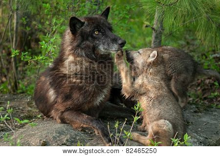 Black Wolf (canis Lupus) Pawed In Mouth By Pup