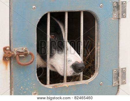 Sled Dog Sits Inside Dog Truck