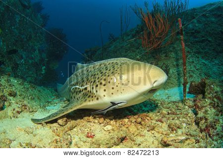 Leopard Shark (Triakis semifasciata) (sometimes known as Zebra Shark)