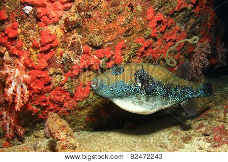 Pufferfish and coral