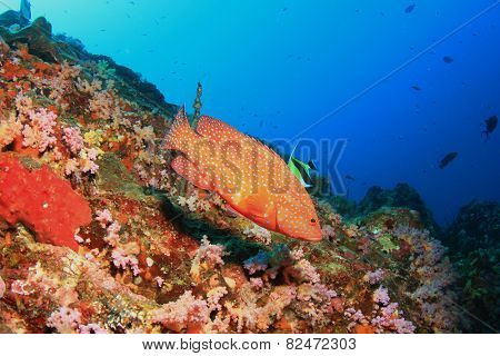 Coral Grouper (Hind) fish