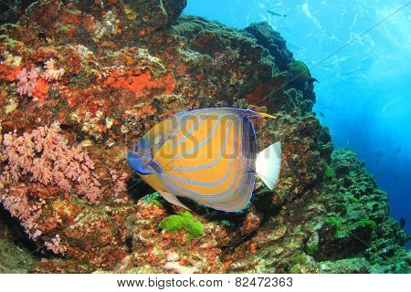 Ringed Angelfish