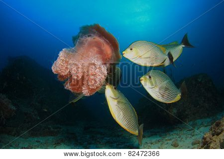 Fish (Rabbitfish) eating Jellyfish