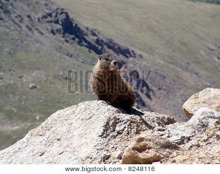 Mountain Gopher
