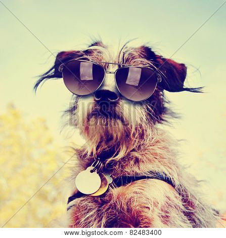 a cute chihuahua terrier mix toned with a retro vintage instagram filter with sunglasses on