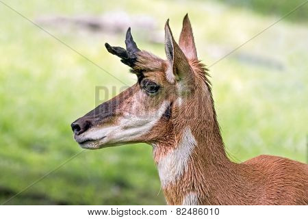 Pronghorn Profile