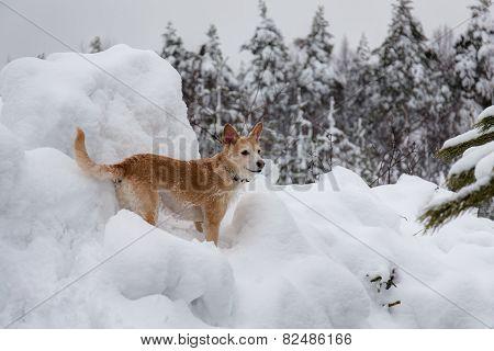 Dog Among Winter Snowdrifts
