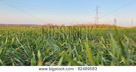 Green Wheat Seedlings