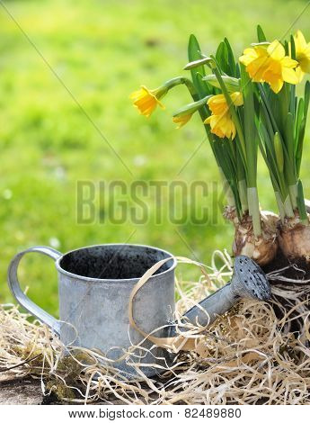 Narcissus And Watering Can