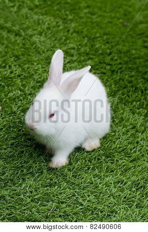 White Rabbit In Grass