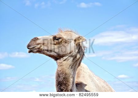 Camel on background of sky and clouds