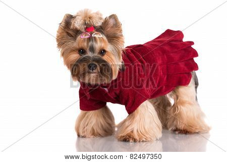 yorkshire terrier dog in clothes