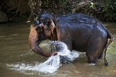 pic of bathing  - Elephant bathing in the river - JPG