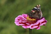 pic of zinnias  - Red Admiral butterfly on zinnia flower over green - JPG
