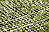 picture of greenhouse  - Seedlings in a greenhouse facility at a farm - JPG