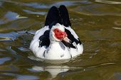 picture of barbary duck  - Muscovy Duck  - JPG