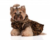 foto of dog clothes  - adorable yorkshire terrier dog in clothes on white - JPG