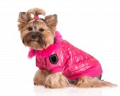 picture of yorkshire terrier  - adorable yorkshire terrier dog in clothes on white - JPG
