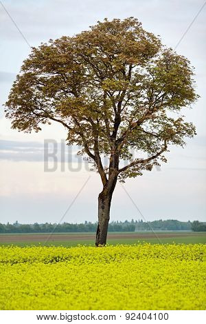 Summer rural landscape with yellow blossom rapeseed field and old tall tree with green foliage