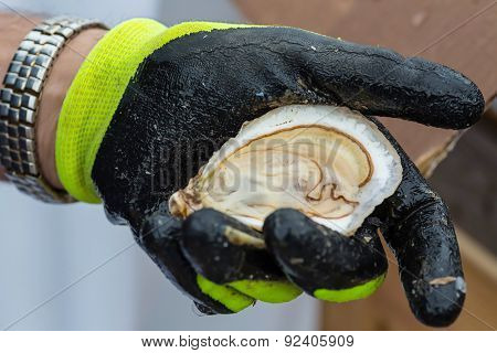 Freshly shucked oyster in a protective gloved hand.