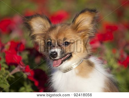 Papillon, French continental   toy spaniel