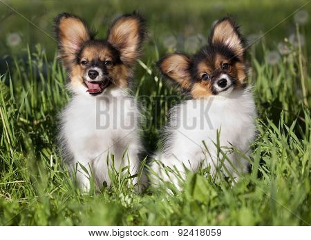 french continental toy spaniel,  tvo  papillon puppy