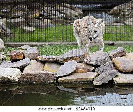 Head forward image of a tan kangaroo behind rock-lined pond.