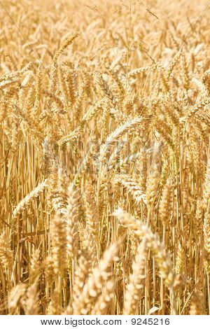 Wheat close up