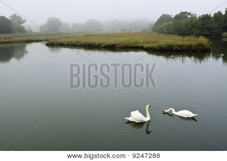 Swans On A Foggy Morning
