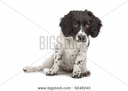 Frisian Staby puppy