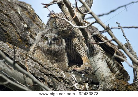 Young Owlet Being Groomed By Mom