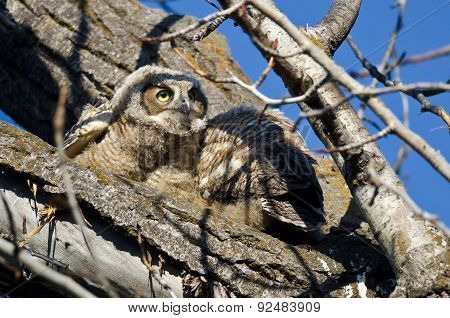 Young Owlet Scanning Across The Tree Tops