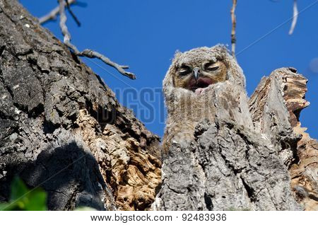 Adorable Young Owlet In Its Nest Yawning And In Need Of A Nap