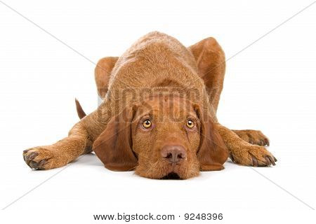 hungarian wire haired vizsla dog
