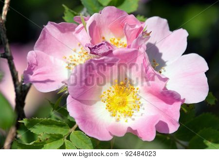 Beautiful Pink And Yellow Flower Of Dog-rose