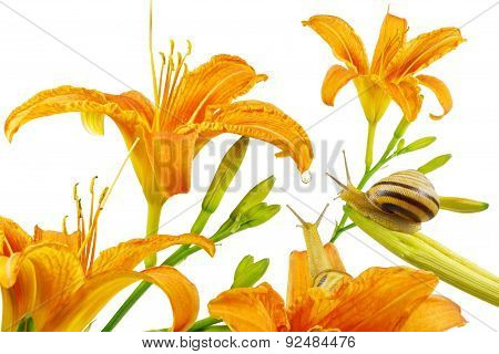 Lilium, orange lily flowers and snails, isolated on white