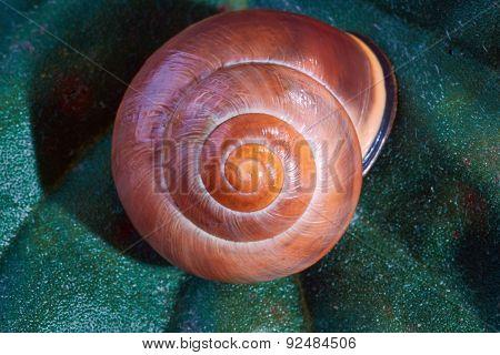 Conch snail