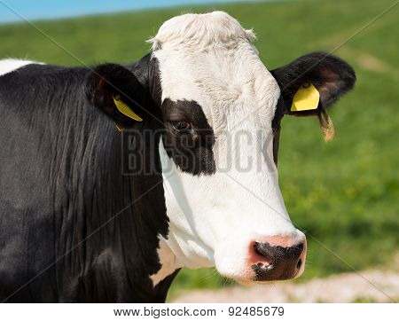 Close Up Of Cow Head