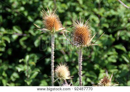 Thorny flowers
