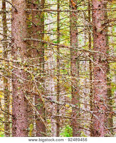 Trees Algonquin Park, Ontario, Canada.