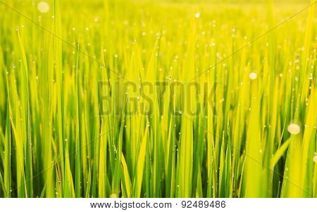 Green Paddy Rice Field And Dew In The Morning