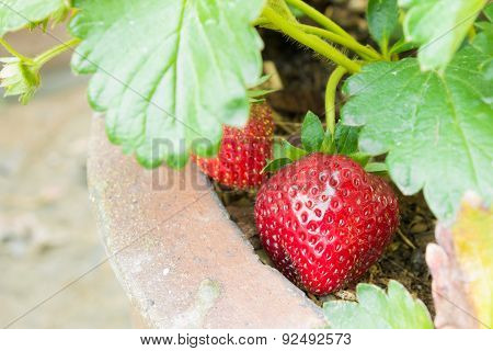 Red Strawberry Fruit In Pot And Leaves Background