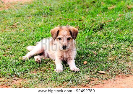 A juvenile dog or puppy in sitting posture on a green background