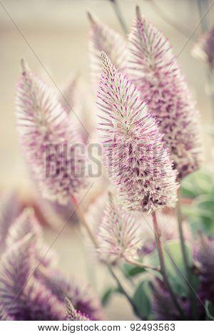 Ptilotus Exaltatus (joey) Flower