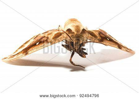 Death head Hawkmoth butterfly