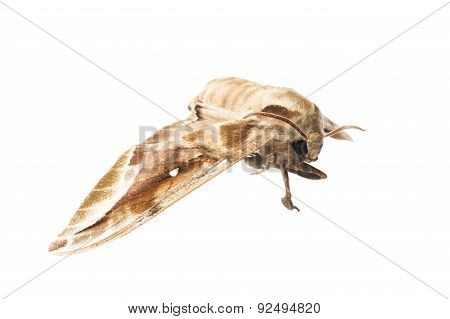 Death head Hawkmoth butterfly isolated