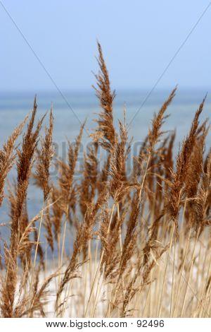 Auburn Grass At The Beach.