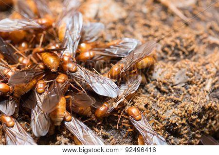 The subterranean ants